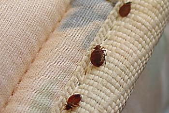 Bedbugs have hit the shops, and could potentially  hitch a ride home with you