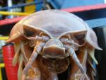 Marine Science News: Giant Isopod found attached to sub